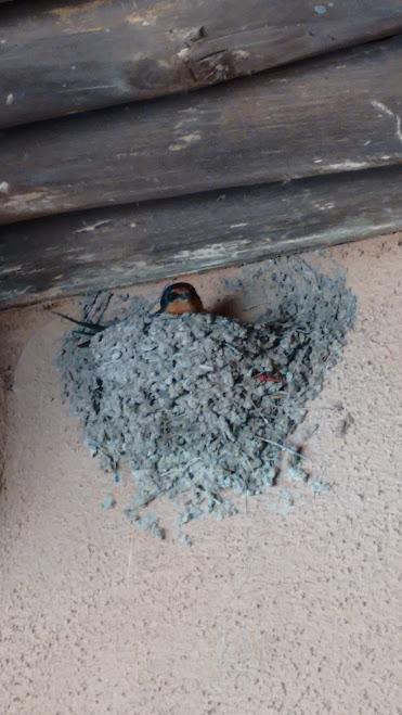 mudswallow