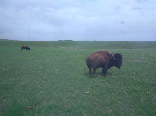 TGP buffalo