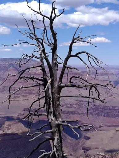 grandcanyon tree